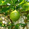Bergamot Essential Oils