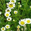 Camomile Essential Oils