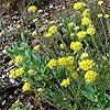 Helichrysum Essential Oils