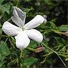 Jasmine Essential Oils