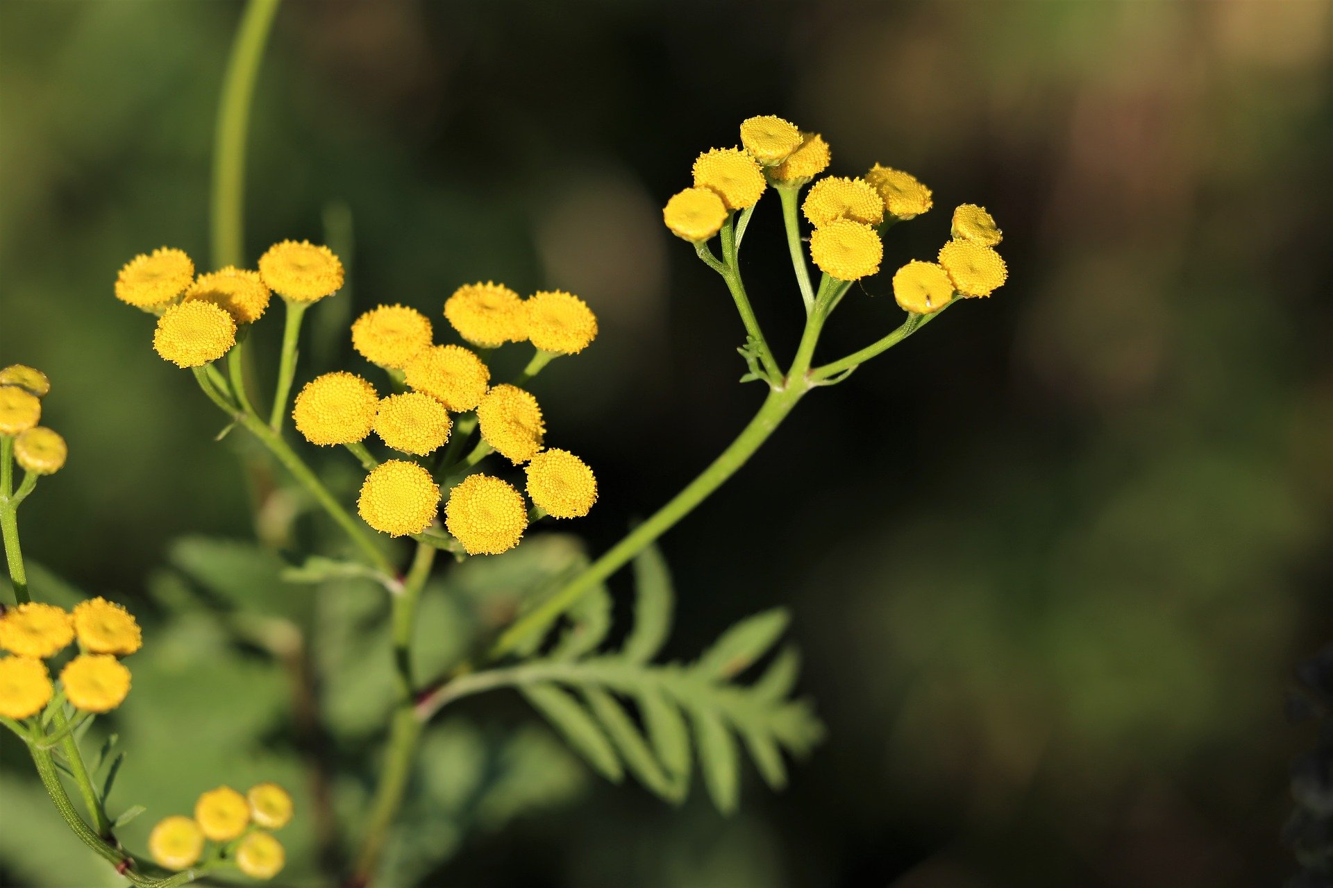 helichrysum imortelle flowers