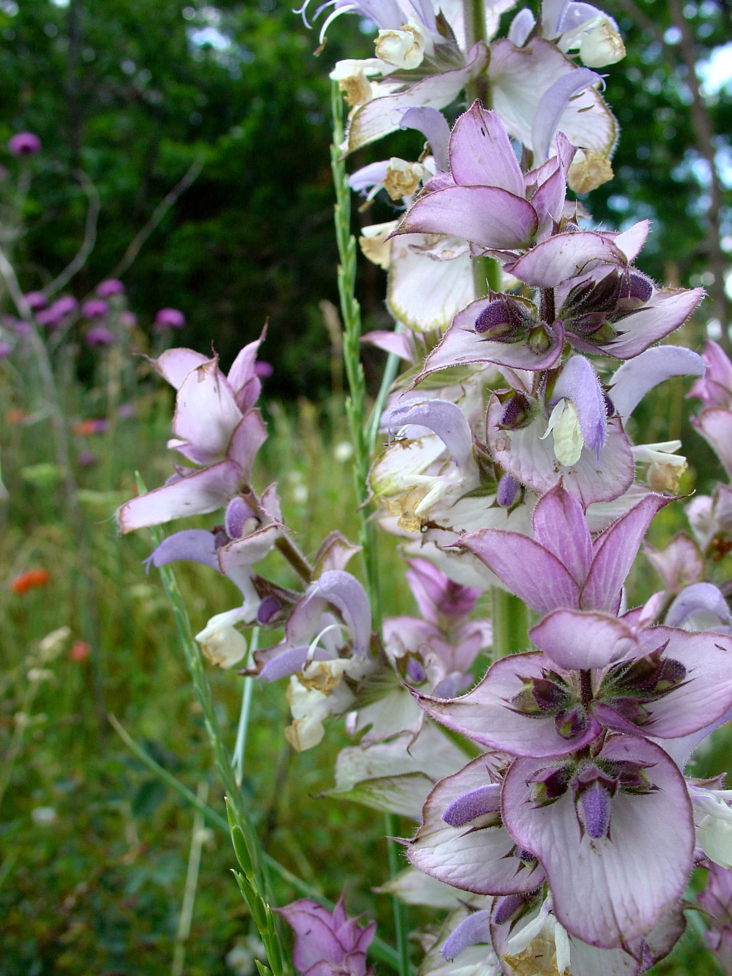 clary sage plant and flowers