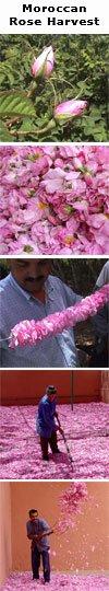 roseharvest.jpg