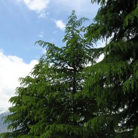 """Cedar"""""""