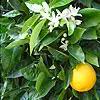 Orange Essential Oils